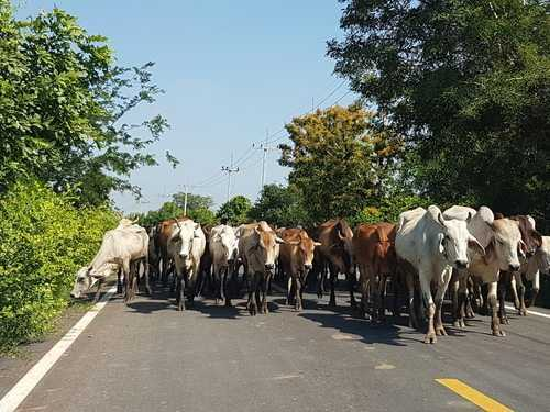 Ministro dos STF suspende dispositivo legal que proíbe o transporte de animais vivos em Santos