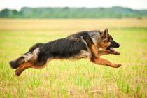 Dona de pastor alemão é condenada após ataque do animal contra mulher e cão na rua