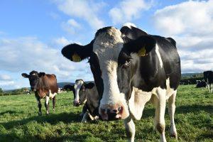 cabeças de gado